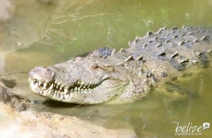 csi-belize-american-crocodile-educaiton-sanctuary(4)